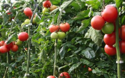 Empresa comercializadora de tomates aplica ya Lean